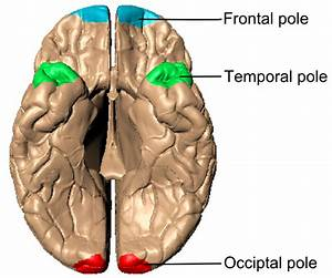 File:Poles of cerebral hemispheres (en) - inferiror view ...