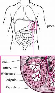 Overview Of The Spleen - Blood Disorders