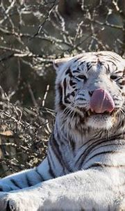 White Tiger Facts | Cool Kid Facts