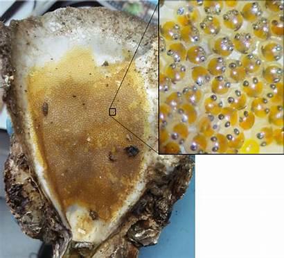 Oyster Reef Eggs Fish Environment Shells Reefs