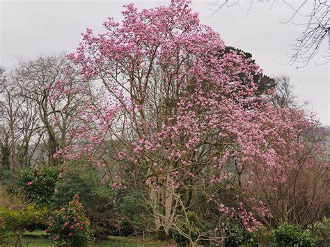 magnolia tree sapling 25th february the garden diary