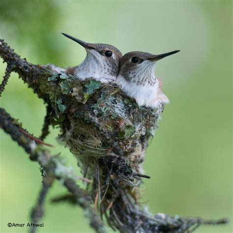 rufous hummingbirds by amar athwal winging it x pinterest