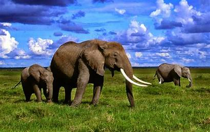African Elephants Wallpapers Elephant Africa Flowers Amazing