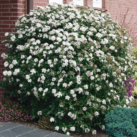 'eve Price' Is A Bushy, Mediumsized Evergreen Viburnum