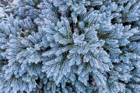 what color is juniper evergreen shrubs for year color blue juniper