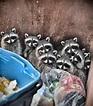 Trash pandas trashing around at my work a month ago. : pics
