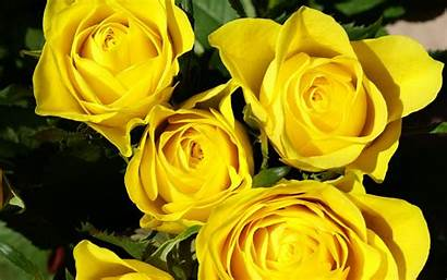 Yellow Rose Roses Flower Nature Flowers Wallpapers