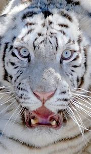 White Pure | White tiger, Tiger, White tiger cubs