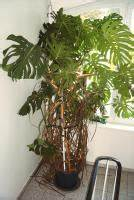 Zimmerpflanze Große Blätter : gro e zimmerpflanze monstera fensterblatt in r srath von ~ Lizthompson.info Haus und Dekorationen