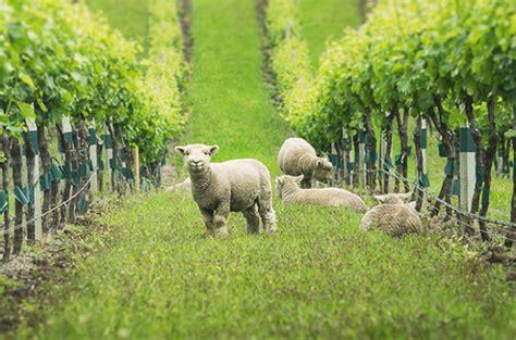 yealands babydoll sheep decanter
