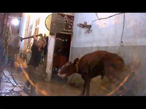 australian cows killed  sledgehammers  vietnam
