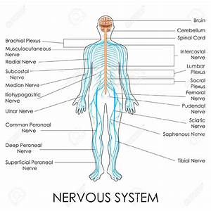 What Two Systems Regulate And Coordinate Body Functions