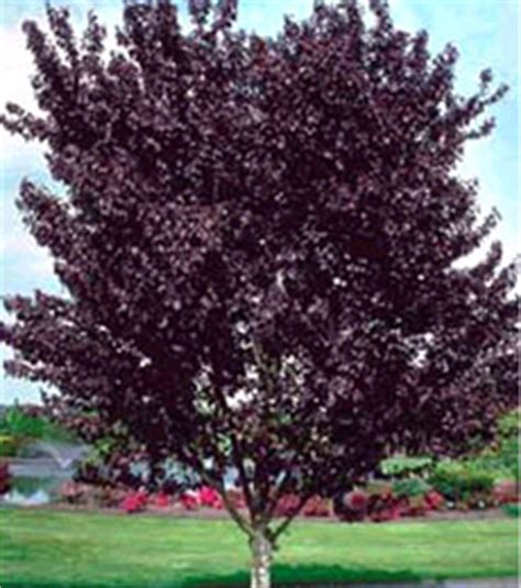 thundercloud purple leaf plum landscaping design servicing sands point kings point brookville huntington hton