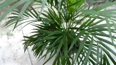 Palmeira de Jardim - Chrysalidocarpus Lutescens - YouTube