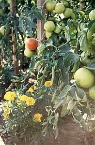 Endiviensalat Pflanzen Setzen : kleingew chshaus kalender arbeiten im gew chshaus nach ~ Whattoseeinmadrid.com Haus und Dekorationen