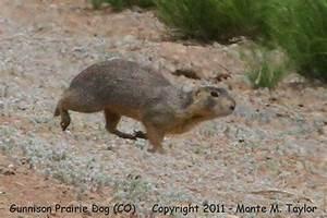 Gunnison Prairie Dog