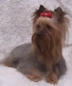 yorkshire terrier zwinger von silvretta berlin berlin