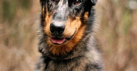dobermanaustralian shepherd mix idk    dogs