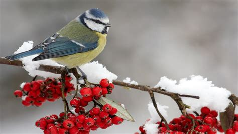 winter bird hd wallpapers