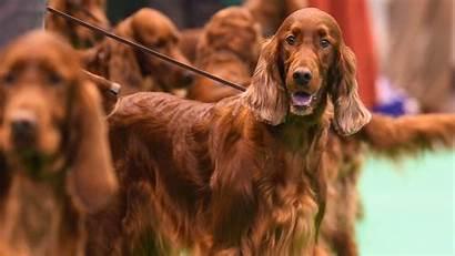 Irish Setter Dog Winning Prize Crufts Poisoned