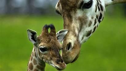 Giraffe Wallpapers
