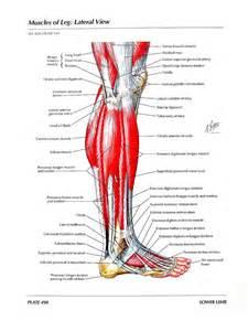 Human Leg Muscle Anatomy