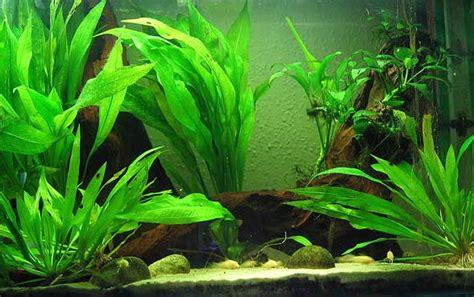 aneka tanaman hias air tawar mempercantik aquarium