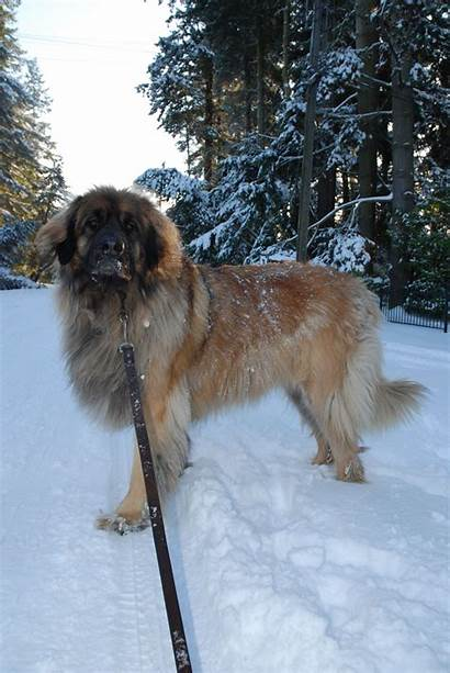 Leonberger Dog Breed Thepetowners