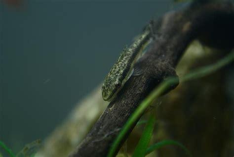 algae eaters  freshwater tanks ratemyfishtankcom