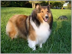 chien intelligent le top 10 des surdou 233 s guide du chien