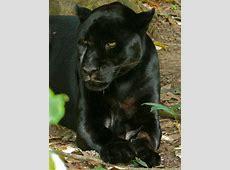 Jaguar Panthera onca BiologieSeite