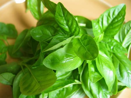 basil leaves pics basil nutrition facts health benefits types uses recipes