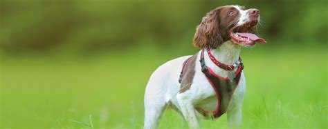 springer spaniel shedding springer spaniel breed health history