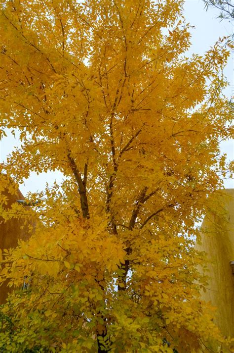 arizona ash fraxinus velutina deciduous desert tree
