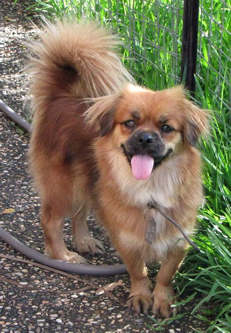 pekingese pomeranian mix dog breeds picture