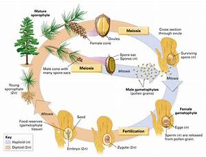 Image Gymnosperms For Term Side Of Card