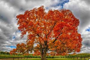 Mindblowing Planet Earth: Maple (Acer), Nature's Favorite ...  Maple