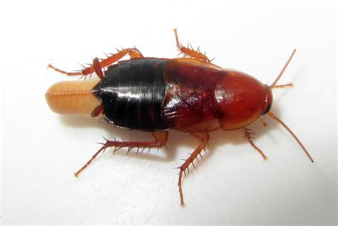 Baby Kakerlake by 9 Great Ways To Deal With Baby Roaches Fast And Easy