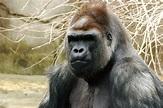 Sokwe (Hominidae) - Wikipedia, kamusi elezo huru