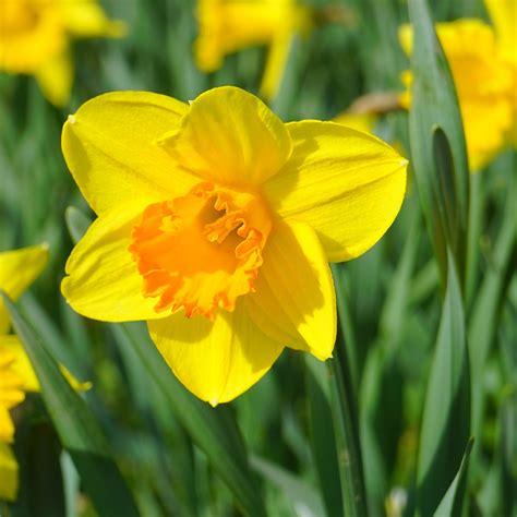 daffodils homestead gardens  homestead gardens