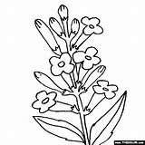 Coloring Flower Lavender sketch template
