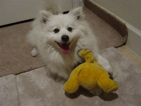 casper d hi my name is casper i am a mini american eskimo eskie