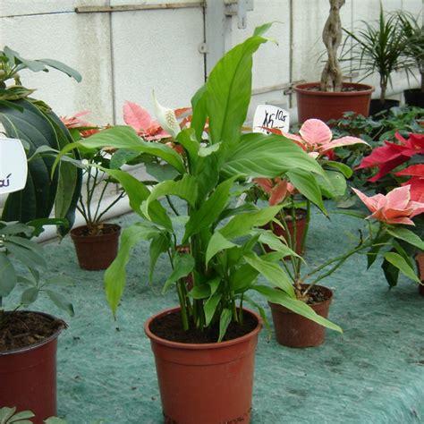 einblatt spathiphyllum pflege vermehren krankheiten