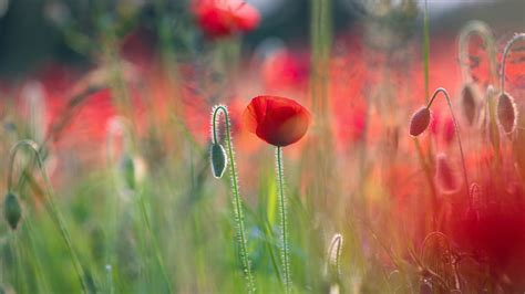 Poppies 5k Wallpapers  Hd Wallpapers  Id #19499