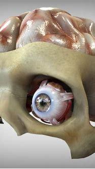 3d eye brain anatomy