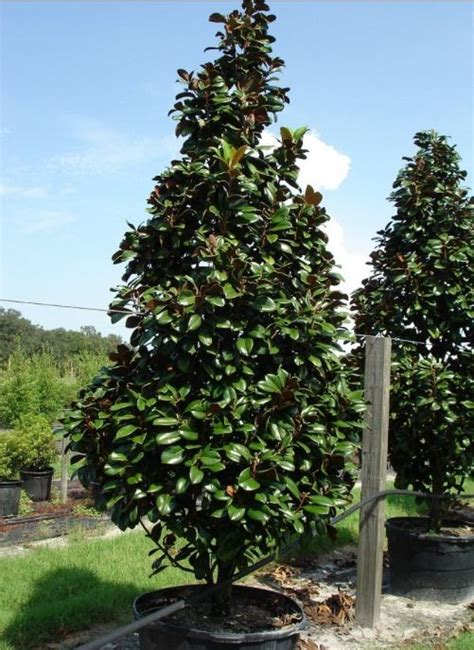 magnolia evergreen varieties i just love these trees magnolia teddy bear trees an evergreen with cup shaped glossy green