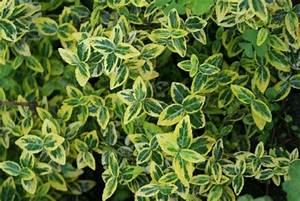arbuste de jardin avec les meilleures collections d39images With idee deco terrasse jardin 16 fusain du japon plantation taille et entretien
