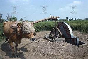 A Cow Turning A Shadoof In Egypt  The Shadoof Is Made Up