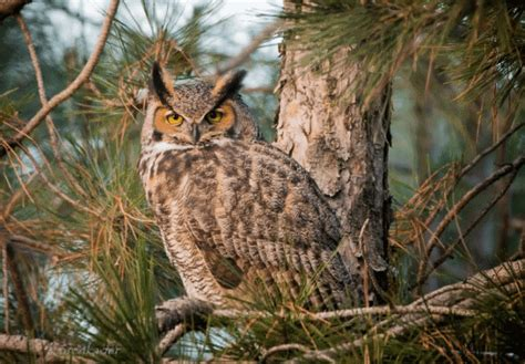 Do Barn Owls Eat Cats by What Do Owls Eat Definitive Guide To 33 Types Of Owls