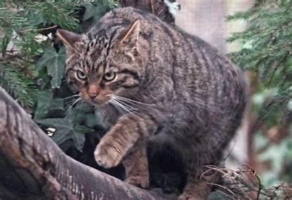 Wildcat Animal Wikia Jam Clans Higher Resolution